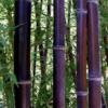 семена бамбук