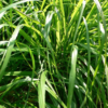 Лимонова трева