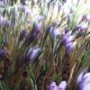 семена шафран