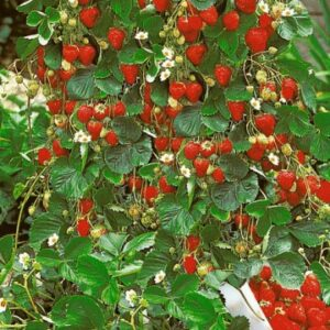 катерещи ягоди